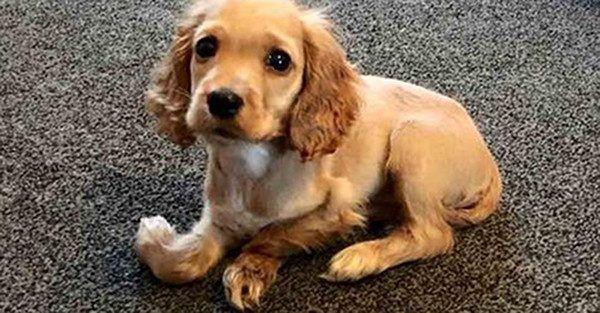 """Ta prześliczna suczka rasy cocker spaniel wabi się Wanda. Urodziła się z mocno zdeformowanymi przednimi łapkami i została podrzucona pod drzwi """"Cinque Ports Rescue"""" - organizacji zajmującej się ratowaniem psów w Wielkiej Brytanii.    Weterynarze nie dawali"""