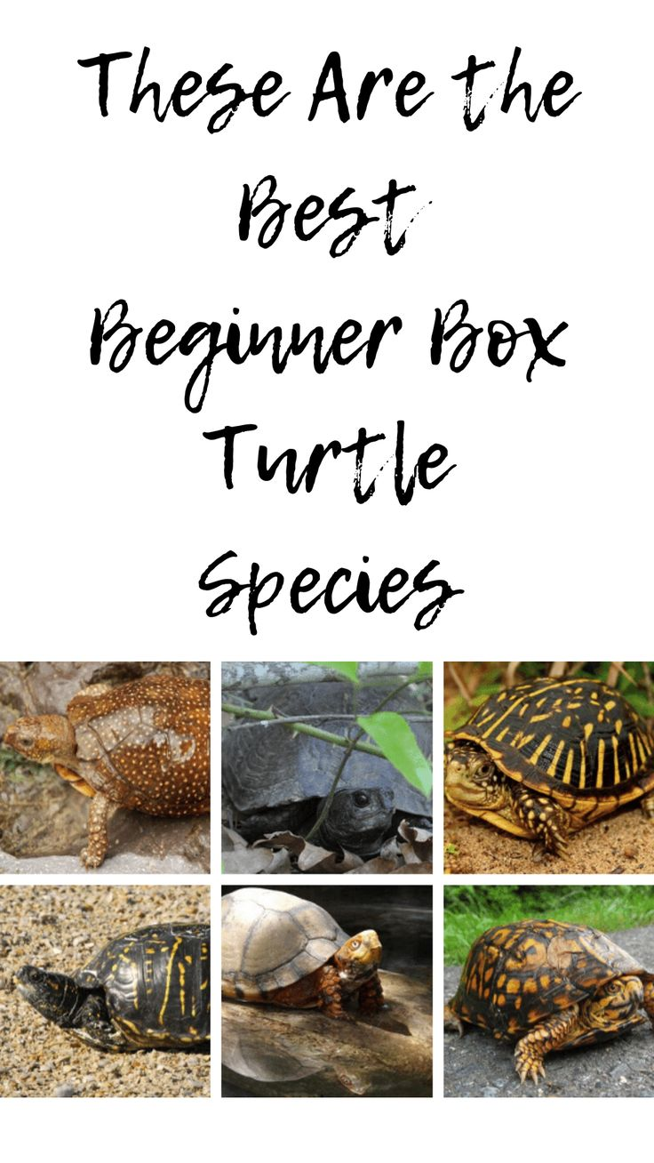These Are the Best Beginner Box Turtle Species in 2020