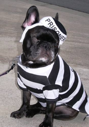 How To Be A Responsible Dog Owner Dog Halloween Costumes Dog Halloween Bulldog Halloween Costumes