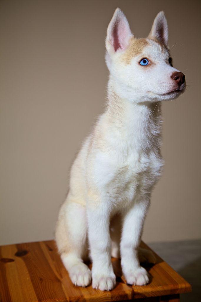 .: Baby Blue, Wolf Dogs, Red Husky, Husky Puppys, Siberian Husky, White Husky, Blue Eye, Beautiful Dogs, Animal