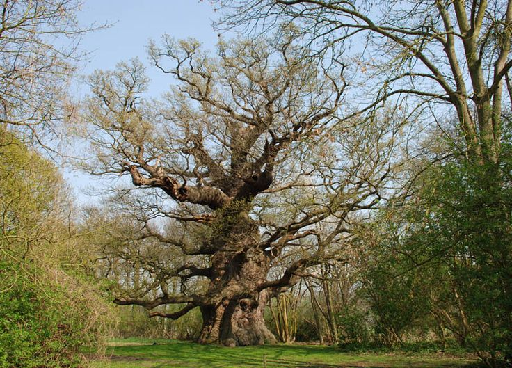 135 best tammi oak images on pinterest old trees for Garden trees kent