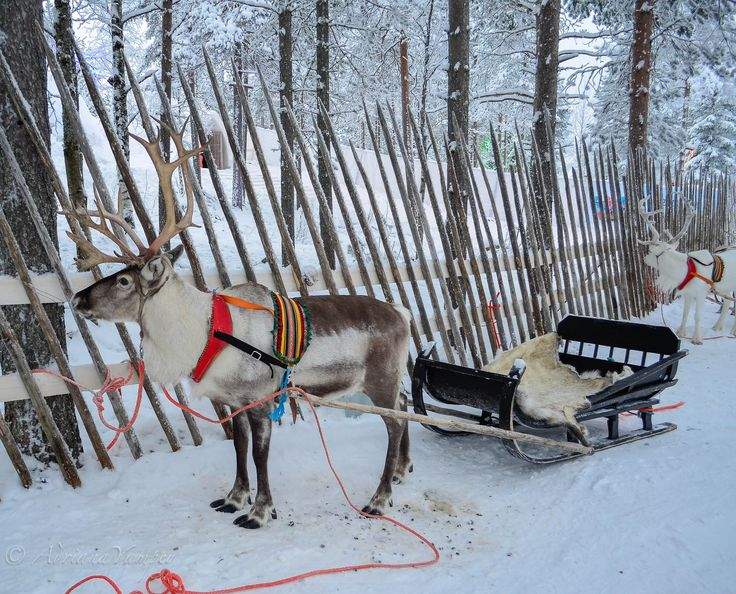 Reindeer sleigh ride at the Arctic Circle in Rovaniemi, Lapland, Finland >>> this is a winter bucket list must do for me! Have you done anything like this?
