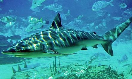 10 Amazing but Endangered Shark Species (Slideshow) (so sad)