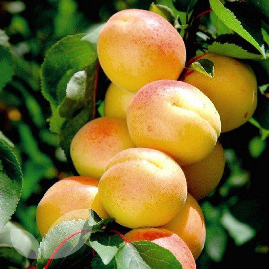 Aprium Cot'n'Candy� Blackmoor Nurseries