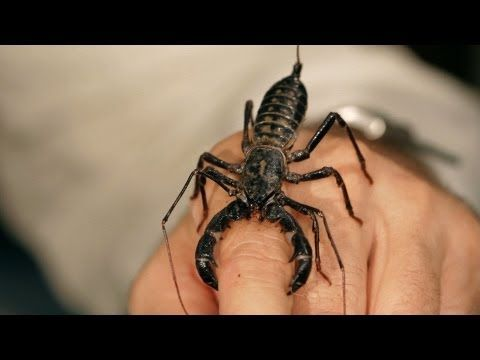 ▶ 6 Vinegarroon Scorpion Facts & Care Tips | Pet Tarantulas - YouTube. If I ever went in this root as a pet I would so get one of these.
