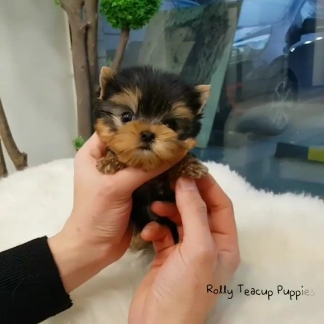 Sold To Bilbao Maggie Dachshund F Rolly Teacup Puppies Dachshund Breed Daschund Puppies Dachshund