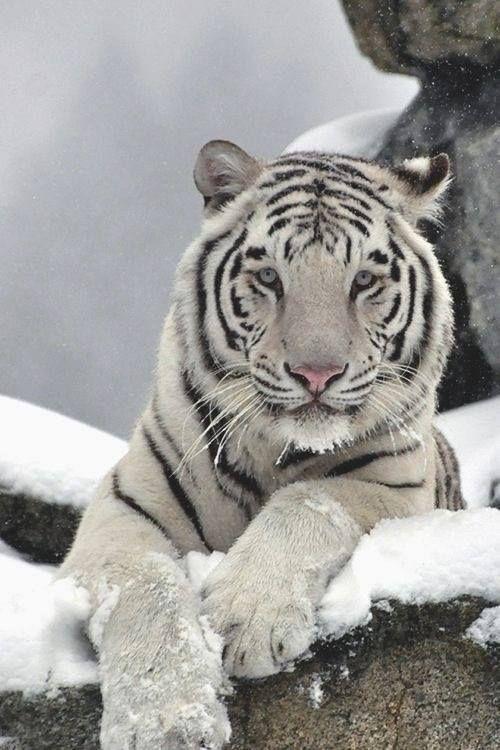 White tiger in snow | Wicks n Wax Loves Furies | Pinterest