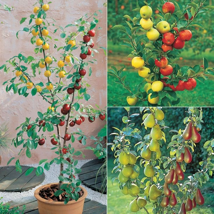 1000 images about grafted trees flowers on pinterest for Fruit trees for sale