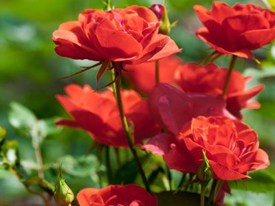Guide To Starting A Rose Garden How Care For Bushes