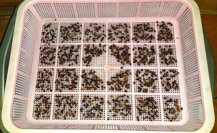 #1 STEP: Semai benih kangkung di wadah berlubang-lubang yg diletakkan menggantung di atas wadah lain yg digenangi air setinggi dasar wadah di atasnya hingga benih kangkung basah. Tutup semaian dg plastik hitam selama 24 jam dan lihat apa yg terjadi keesokan harinya.