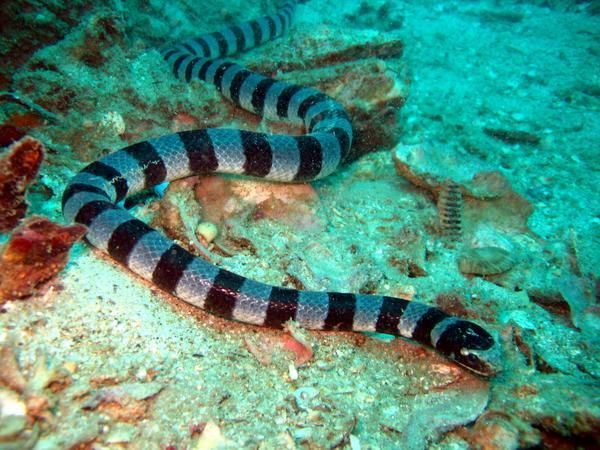 What kind of predators does a sea snake have?