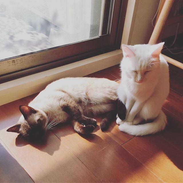 お天気良い☀️秋の昼下がり‥‥🍁 わてらネムネムモードですわ〜😴 by万にゃ&ミーシャ #大家族#愛猫#シャムMIX#ただの顔黒#白猫#ほんとは腹黒#秋の日に#昼下がり#日向ぼっこ#お昼寝#ネムネムモード#良い週末を