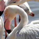 Flamingos en el Lagoon (Walvis Bay) Namibia