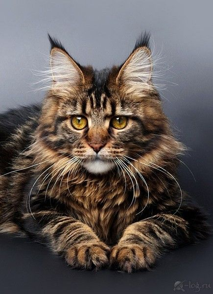 mainecoon Cats Pinterest