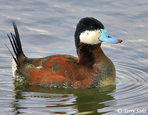 ducks | ID Keys: Blue bill, black cap, white face, stiff black tail.