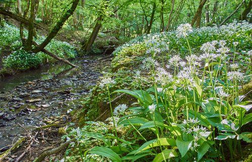 Česnek medvědí výborně prospívá poblíž potůčků v listnatých lesích.