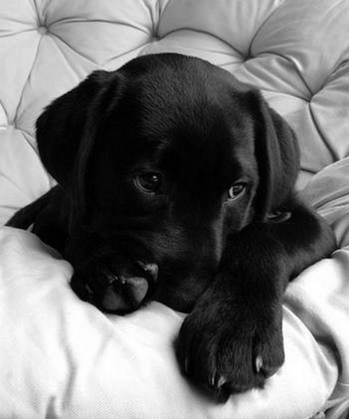 ...Labrador Retriever, Dogs, My Heart, Baby Animal, Black Labs Puppies, Black Lab Puppies, Blacklabs, Black Labrador Puppies, Eye