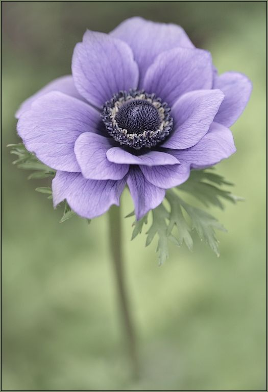 Anemone is in season for fall (this flower is usually seen with the white petals and black center)