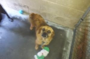 Teddy is an adoptable Pug Dog in Johnson City, TN. Female dogs are 95.00. Male dogs are 80.00. This pays for their spay or neuter. If they are already spayed or neutered, they are only 35.00! For more...