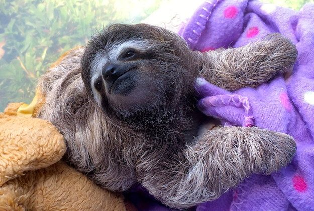 I also want to live at The Sloth Sanctuary in Costa Rica. Meet Lunita, The Cutest Baby Sloth On Planet Earth