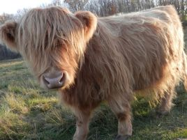 Miniature Highland Cows for Sale/bull/calf/calves/steer - mn