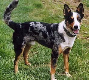 "Australian koolie dog photo | ... and rare dog breed, often referred to as ""the best working dogs"