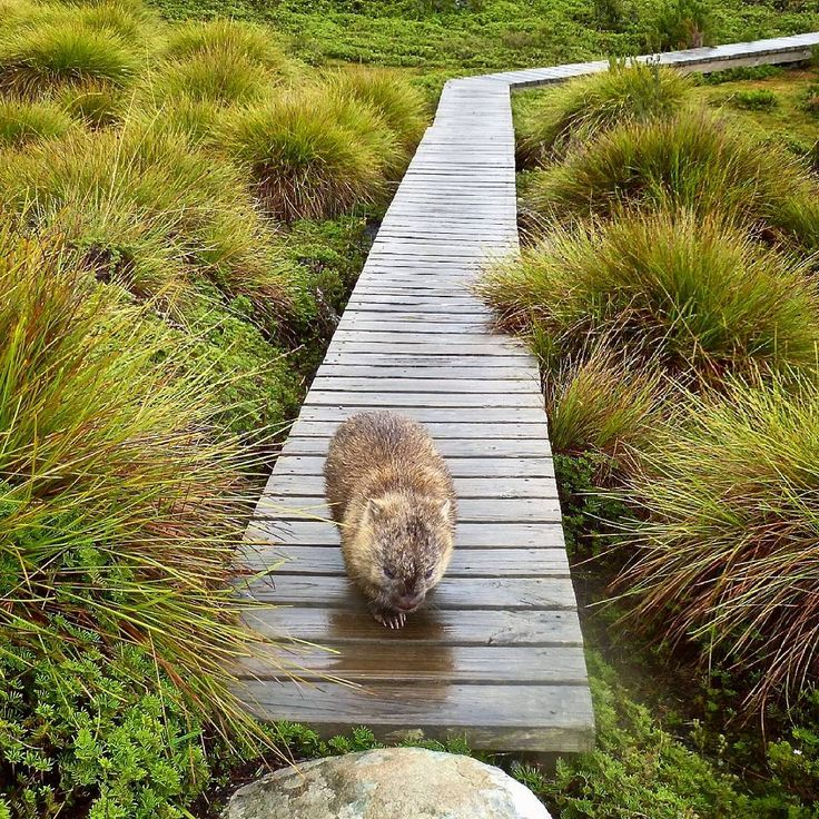 Even the wombats enjoy using the boardwalks along the Overland Track in the Cradle Mountain Lake St Clair National Park.