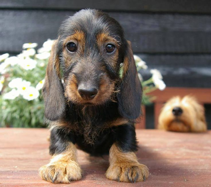 Wirehair baby Dachshund. Precious!