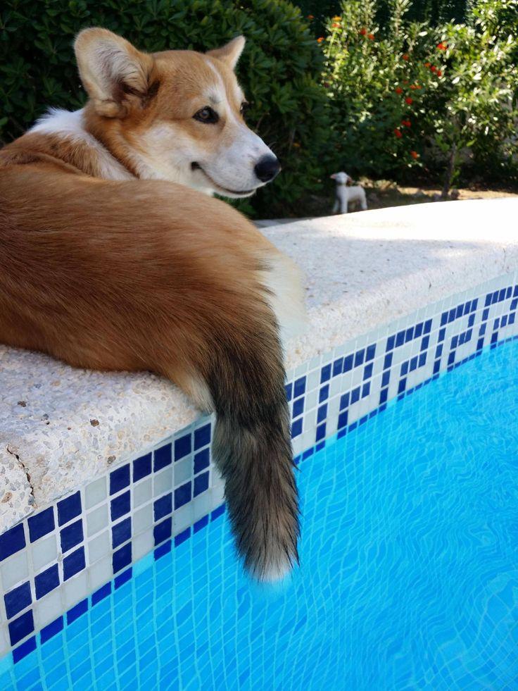 Corgi Norman and his foxy tail! Follow ILoveCorgiDogs on Facebook: https://www.facebook.com/ilovecorgidogscom