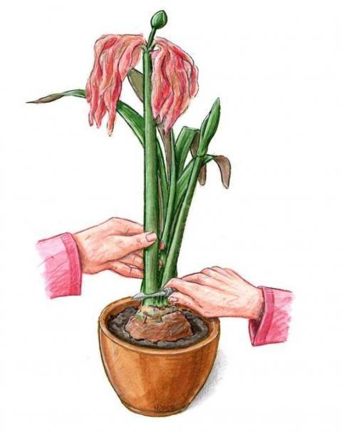 Amaryllis: Pflege & Blume zum Blühen bringen