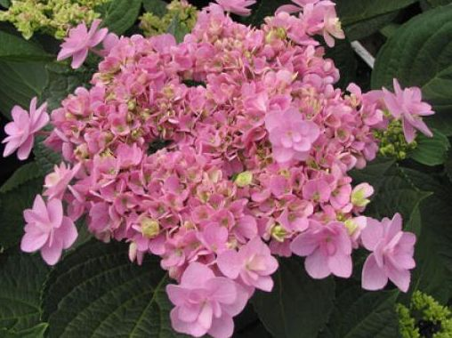 hydrangea macrophylla you and me forever ou hortensia double bleu forever