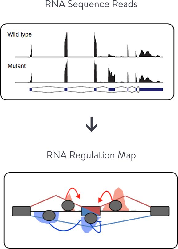 Center for RNA Systems Biology (CRSB) : The CRSB faculty & researchers use systems biology to establish a fundamental basis for understanding and predicting the control of mRNA fate due to RNA structure embedded in pre-mRNA and mRNA sequences. Using a suite of tools, we detect pre-mRNA and mRNA structural features in human cells at a systems level.