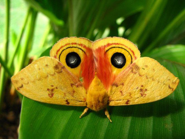 Moth #eyes