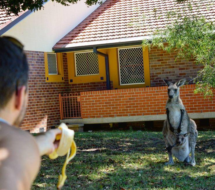 Follow us on insta: http://ift.tt/2toa2CG -- @vamosfugirblog -- Tenhamos atrair mas ela estava um pouquinho desconfiada  #coisademae #maecanguru Essa foto foi tirada no Morisset Park o jardim de um hospital psiquiátrico que por ser muito grande e arborizado reúne muitos cangurus e consequentemente turistas! Quem quiser saber mais é só dar uma olhada lá no blog!  (Link na Bio)  #australia #morissetpark #intercambio #vamosfugirblog #animal #canguru #kangaroo #baby #cute #viagem #missãovt…
