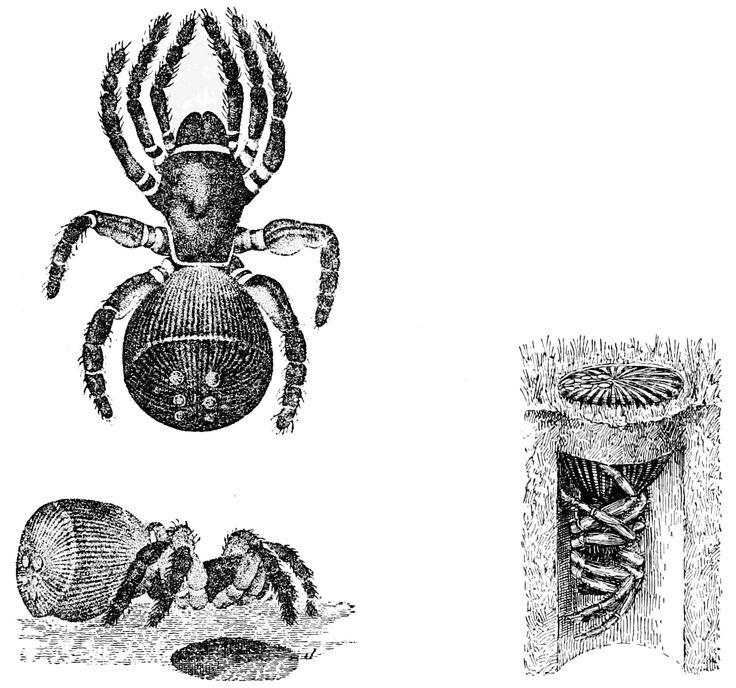 ravine trapdoor spider cyclocosmia truncata - Pesquisa Google