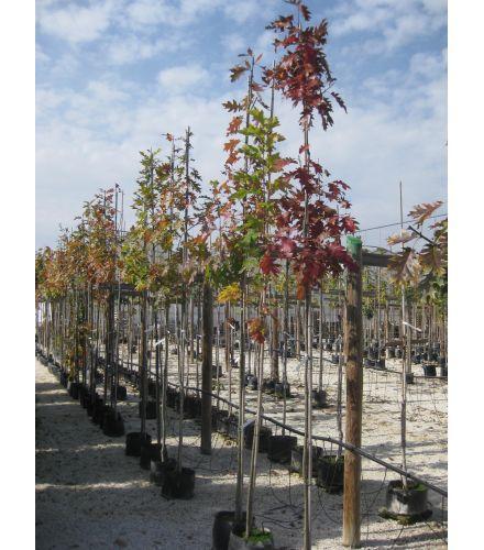 Червен дъб Quercus rubra