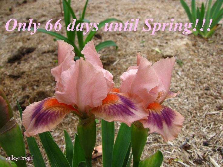 Keep Off is a cute little pink miniature dwarf bearded (MDB) iris.