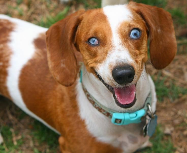 My blue-eyed, piebald dachshund. This is my baby ...
