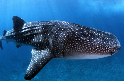 http://www.bluepeacemaldives.org/blog/wp-content/uploads/2008/08/whale-shark.jpg Where do whale sharks live?