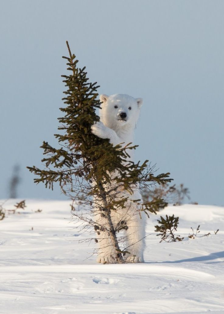 """Polar bear, playing with a tree.. """"Let's Play!""""- Jonathan Huyer Wapusk National Park, Manitoba, Canada  Distractify 