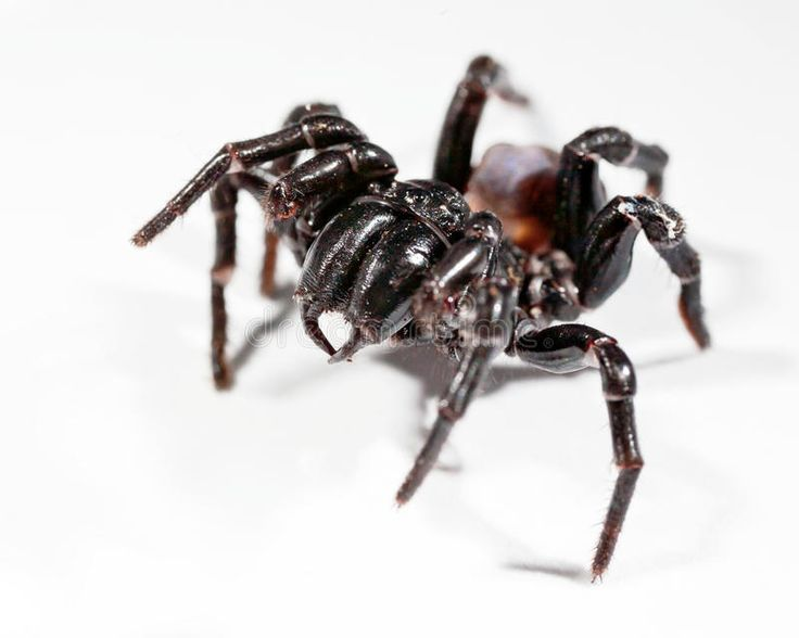 Funnel Web Spider Royalty Free Stock Photos - Image: 31185668