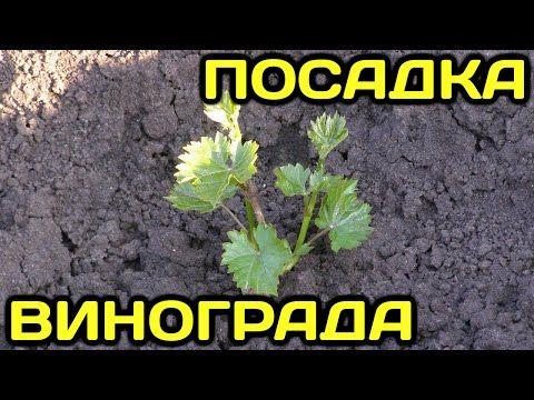 Посадка вегетирующего саженца винограда с применением гидрогеля