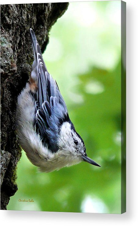 White Breasted Nuthatch Acrylic Print by Christina Rollo.  All acrylic prints are professionally printed, packaged, and shipped within 3 - 4 business days and delivered ready-to-hang on your wall. Choose from multiple sizes and mounting options.