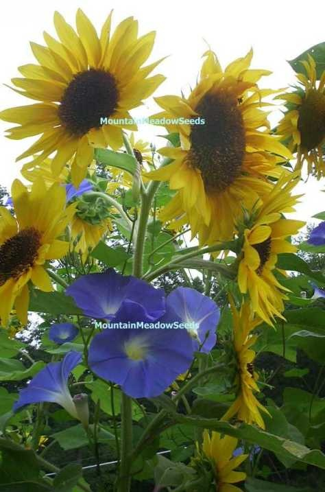 GIANT SUNFLOWERS & HEAVENLY BLUE MORNING GLORY VINES ( Helianthus 25 Seeds & Ipomoea 25 Seeds ) Large flowering Giant Sunflowers are our cross between a multi-flowering variety and Mammoth Russian sunflower. Beautiful long flowered creamy yellow petals on a tall strong stalk that grows anywhere from 10-12 feet tall. Grow these together with our deep blue Heavenly Blue Morning Glory vines and you have a great combination of color that is guaranteed to please the eye. Hummingbirds love Morning…