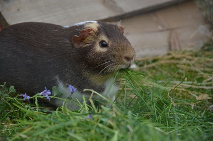 my Guinea pig has a little problem, her mouth just isn't big enough.