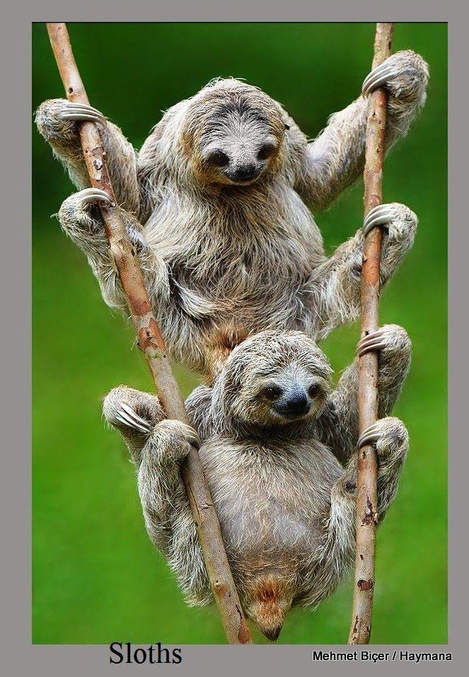 Tembel hayvanlar (Sloth)