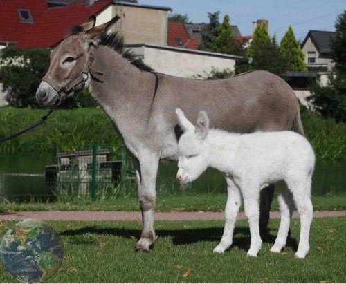 Awe, it's Casper the white baby donkey! :)
