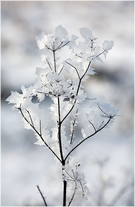delicate frost