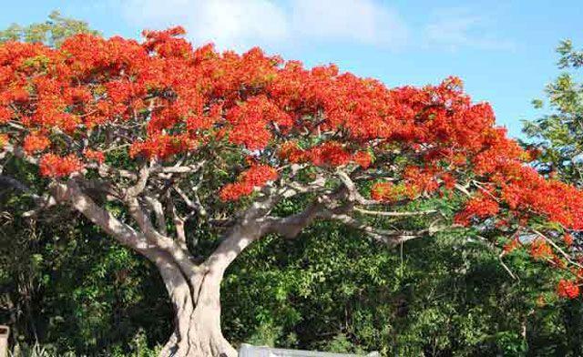 Alev Ağacı - Virgin Adaları