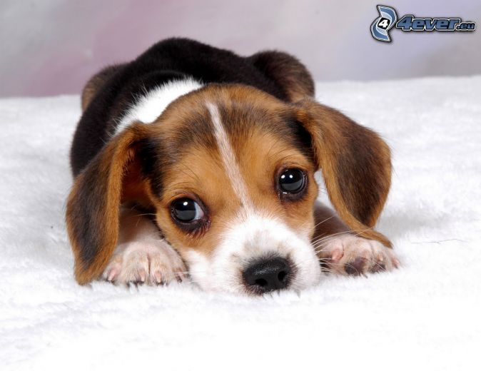 beagle, chiot